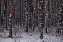 Stammar av trees Vinterskogtexturer Bakgrund Landskap royaltyfria bilder