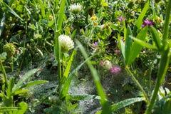 Stammar för gräs för spindelrengöringsduk med vatten tappar från morgondagget Arkivbild