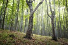 Stammar för körsbärsrött träd i grön skog i sommar Royaltyfri Bild