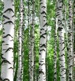 Stammar för vit björk i solig skog för sommar Arkivbilder