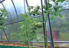 Stammar med gröna tomater i ett växthus Fotografering för Bildbyråer