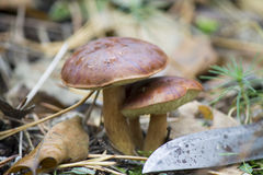 Stammar plocka svamp i höstskog Royaltyfria Foton