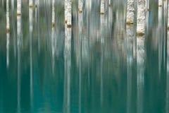Stammarna av sörjer träd reflekterade i vattnet Royaltyfria Foton