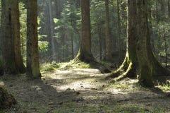 Stammarna av träden i den prydliga skogen strålarna av solen Fotografering för Bildbyråer