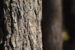 Stammarna av träden i pinjeskogen. Arkivfoto