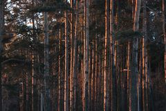 Stammarna av träden på gryning skogen i de första strålarna av morgonsolen varmt ljus i parkerar på en frostig klar dag arkivbild