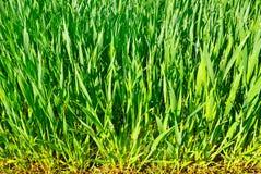 Stammarna av unga växter av kornskördar i fältet. Royaltyfri Foto