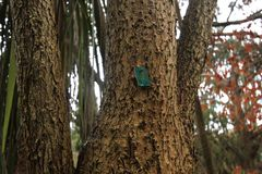 Stammarna av väldiga träd sycamore Arkivbild