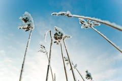 Stammarna av vassen på snöbakgrunden stammar i snö Arkivfoto