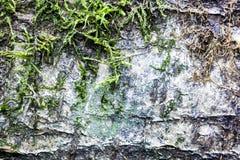 Stammen av björken som täcktes med gammalt trädslut för mossa sköt upp, av björkskäll fotografering för bildbyråer