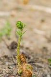 Stammen av en grön ung ormbunke Arkivfoton