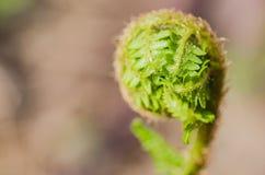 Stammen av en grön ung ormbunke Arkivbilder
