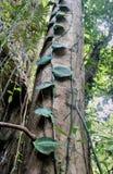 Stammen av ett enormt tropiskt träd Palawan ö Arkivbilder