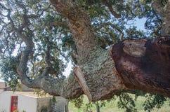 Stammen av ett korkträd Arkivbild