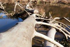 Stammen av ett torkat träd ligger i vattnet Royaltyfri Fotografi