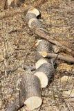 Stammen av ett träd som sågas till kilar Arkivbild