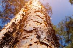 Stammen av sörjer trä Royaltyfri Foto