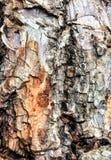 Stammen av trädtexturen royaltyfria foton