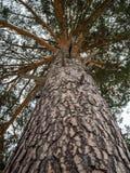 Stammen och kronan av sörjer trädet från en snöig vinterskog i Ryssland royaltyfri foto