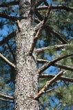 Stammen och Limbs av gammalt sörjer treen royaltyfria bilder