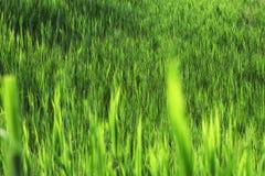 Stammen van groen riet Stock Afbeeldingen