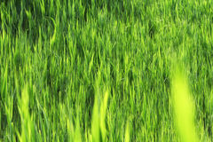 Stammen van groen riet Stock Foto's