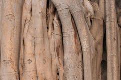Stammwurzeln des Ficus eine Backsteinmauer bedeckend Stockbild