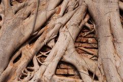 Stammwurzeln des Ficus eine Wand bedeckend Lizenzfreie Stockfotografie