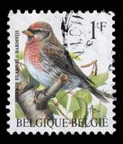 Stamp printed by Belgium shows Redpoll bird Royalty Free Stock Photography