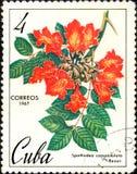 Stamp printed in Cuba, shows image Spathodea campanulata, circa 1967 Royalty Free Stock Photo