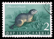 Stamp printed in Yugoslavia shows the European ground squirrel Stock Photography