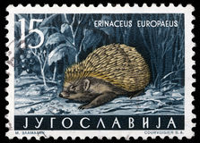 Stamp printed in Yugoslavia shows the European Hedgehog Stock Images
