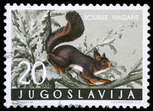 Stamp printed in Yugoslavia shows the red squirrel. With the inscription `Sciurus Vulgaris` from the series `Fauna`, circa 1965 Stock Photo