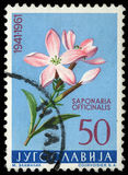 Stamp printed in Yugoslavia shows Saponaria Stock Images