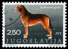 Stamp printed in Yugoslavia shows the Serbian Hound Stock Image