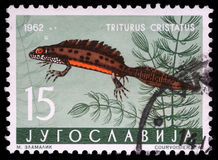 Stamp printed in Yugoslavia shows the Triturus. With the inscription `Triturus Cristatus` from the series `Fauna`, circa 1962 Stock Photo