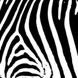 Stampa della zebra Immagine Stock