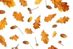 stampa di autunno con le foglie della quercia gialla e della ghianda Immagini Stock