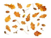 Stampa isolata di autunno con le foglie della quercia gialla e della ghianda Fotografie Stock Libere da Diritti