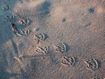 Stampe del piede del gabbiano in sabbia Fotografie Stock