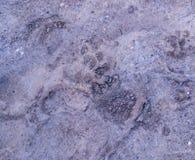 Stampe della zampa del cane nel fango fondo, naturale immagini stock