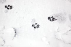 Stampe della zampa nella neve Immagini Stock