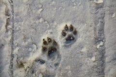 Stampe delle zampe del cane sulla neve Immagini Stock Libere da Diritti