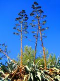 Stampe di arti della carta da parati del fondo del fiore selvaggio di Americana dell'agave immagini stock
