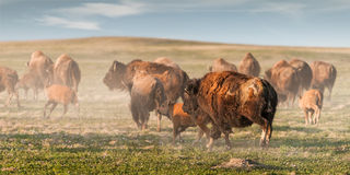 stampede американского зубробизона Стоковые Фотографии RF