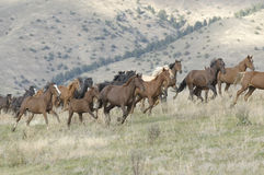 Stampede. Horses stampeding on a Montana horse ranch Royalty Free Stock Photography