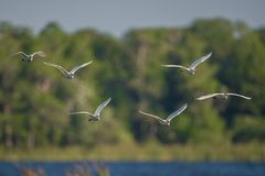 Stampede of cattle egrets in flight Stock Photo