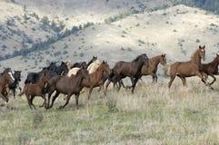 Stampeding horses Stock Image
