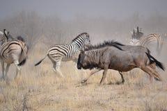 Stampedo en el parque nacional de Etosha Fotografía de archivo