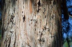 Stamskäll av det östliga röda cederträet i Laguna trän, Kalifornien Royaltyfria Bilder